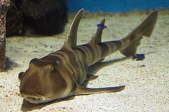 Japanese bullhead shark - Image: Heterodontus japonicus port of nagoya
