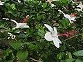 Hibiscus arnottianus subsp. arnottianus Kanani Kea (5113331410).jpg