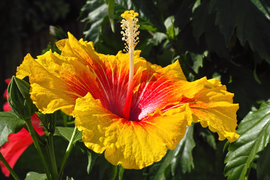 Hibiscus rosa-sinensis 'Rainbow Sherbet' flower in private Austrian garden on 2014-09-20.png