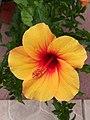 Hibiscus rs1.jpg