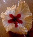 Hibiscus ten.JPG