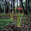 Higanbana hidden among the ragweed and goldenrod.jpg