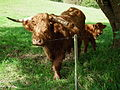 Highland Cattle 2010.JPG