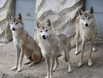 Wolves in the Padmaja Naidu Himalayan Zoological Park in Darjeeling Himalayan wolves.jpg