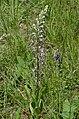 Himantoglossum adriaticum 01.jpg