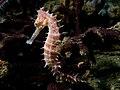 Hippocampus histrix (Beige thorny seahose).jpg