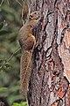Hoary-bellied Himalayan squirrel (Callosciurus pygerythrus) Nagarjun.jpg