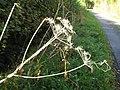 Hogweed - skeletal remains - geograph.org.uk - 1016796.jpg