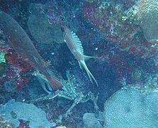 Holocentrus rufus - longspine squirrelfish - Bay of Pigs - Cuba.jpg