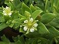 Honckenya peploides subsp. major 4.JPG