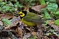 Hooded Warbler (male) Fall Out 2 Sabine Woods TX 2018-04-09 08-44-30 (40795009654).jpg