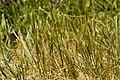 Hordeum depressum - Flickr - aspidoscelis (2).jpg