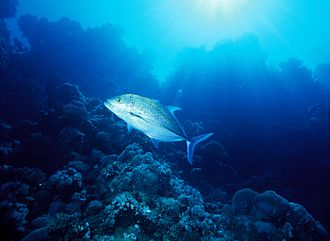 Bluefin trevally - A lone bluefin trevally patrolling a coral reef, one of the species most common habitats