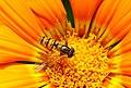 Hoverfly on Gazania (Macro).jpg
