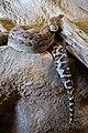 Hroznýšovec kubánský zoo praha 1.jpg