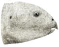 Hualianceratops wucaiwanensis.png