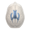 Human ventricular system - top view.png