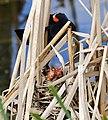 Hungry Birds (48002664516).jpg