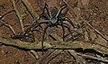Huntsman Spider (Sparassidae) (8680343057).jpg