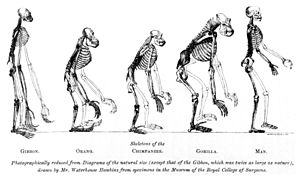 Recent African origin of modern humans - The frontispiece to Huxley's Evidence as to Man's Place in Nature (1863): the image compares the skeleton of a human to other apes.