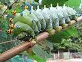Hyalophora cecropia caterpillar.jpg