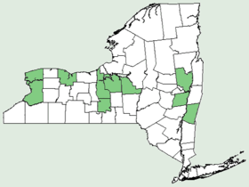 Hybanthus concolor NY-dist-map.png