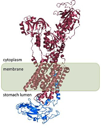 Hydrogen potassium ATPase - Structure of the hydrogen potassium ATPase. The α subunit is shown in pink; the β subunit is shown in blue.