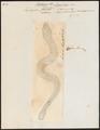 Hydrophis laevis - 1700-1880 - Print - Iconographia Zoologica - Special Collections University of Amsterdam - UBA01 IZ11800151.tif