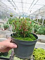 Hypericum canadense plant (01).jpg