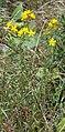 Hypericum pulchrum - plant (aka).jpg