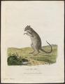 Hypsiprymnus murinus - 1700-1880 - Print - Iconographia Zoologica - Special Collections University of Amsterdam - UBA01 IZ20300037.tif
