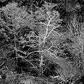 Iberian Oak Alentejo Portugal.jpg