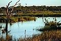 Ibis Rookery Middle Reedy Lake, Kerang, Victoria.jpg