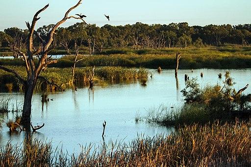 Ibis Rookery Middle Reedy Lake, Kerang, Victoria