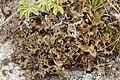 Iceland moss - Cetraria islandica (42717735270).jpg