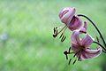 Il giglio rosa.jpg