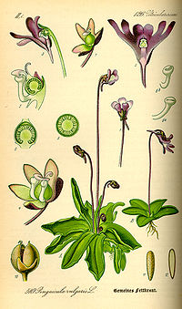 Illustration Pinguicula vulgaris0.jpg