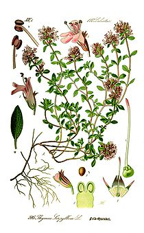 Illustration Thymus serpyllum0 clean.jpg