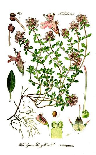 Тимьян ползучий. Ботаническая иллюстрация из книги О.В.Томе Flora von Deutschland, Österreich und der Schweiz, 1885