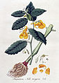 Impatiens noli-tangere — Flora Batava — Volume v4.jpg
