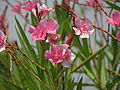 India - bright flowers (6321446383).jpg