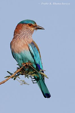 Indian Roller (Nelkantha).jpg