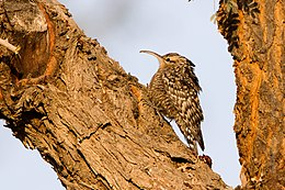Indian Spotted Creeper.jpg