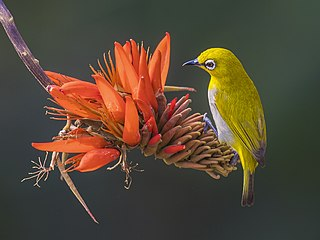 Indian white-eye at Satchari National Park.jpg