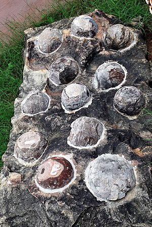 Egg fossil - Fossilized dinosaur eggs displayed at Indroda Dinosaur and Fossil Park