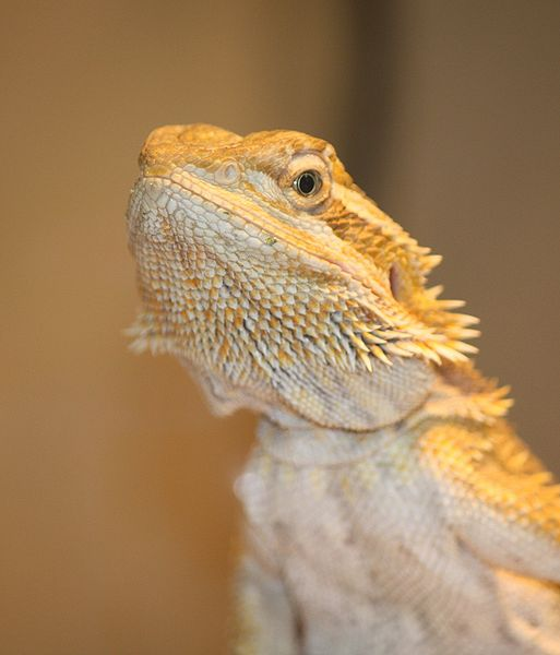 Bearded Dragon For Sale Near Myrtle Beach Sc