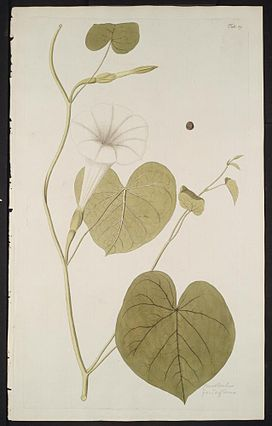 Ipomoea violacea illustration.jpg