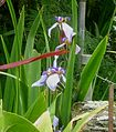 Iris sp. - Flickr - gailhampshire.jpg
