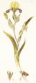 Iris variegata Jacq1.5.png