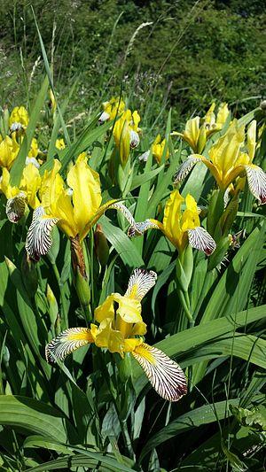 Iris variegata - Image: Iris variegata sl 11